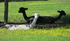 Lamas, die im Gras stillstehen Lizenzfreie Stockbilder