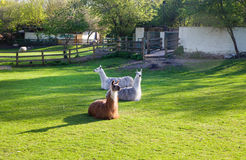 Lamas, Docklands farm, London Royalty Free Stock Images