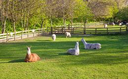Lamas, Docklands farm, London Stock Photo