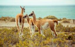 Lamas durch den Ozean Stockfotos