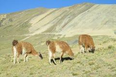 Lamas eat grass Royalty Free Stock Image