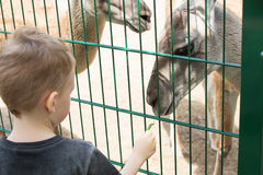 Lamas eating out of the hand of a boy. Stock Image