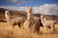 Lamas em Andes, montanhas, Peru Fotografia de Stock