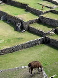 Lamas em Machu Picchu Imagens de Stock Royalty Free