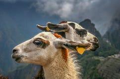 Lamas em Machu Picchu fotos de stock