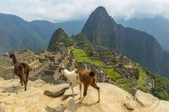 Lamas em Machu Picchu perto de Cusco, Peru fotos de stock royalty free