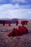 Lamas en ceremonia del Año Nuevo Fotografía de archivo