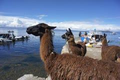 3 lamas en Isla del Sol Foto de archivo libre de regalías