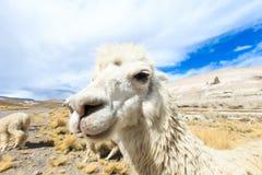 Lamas en los Andes, montañas, imagenes de archivo