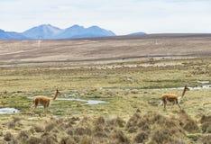Lamas en los Andes, montañas imagenes de archivo
