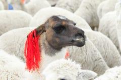 Lamas en los Andes, montañas foto de archivo