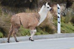 Lamas en parc national Cajas, station de Tres Cruces, Equateur Image libre de droits
