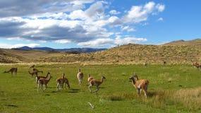 Lamas en piment 2 Images libres de droits