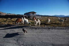 Lamas en stationnement national de Lauca - Chili Photographie stock