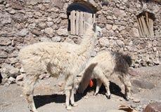 Lamas en un desierto, Salar de Uyuni, Bolivia Fotografía de archivo libre de regalías