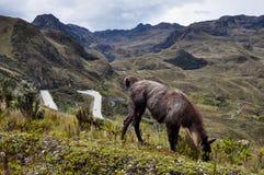 Lamas Family in El Cajas National Park, Ecuador Stock Photography