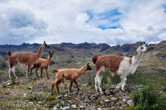 Lamas Family in El Cajas National Park, Ecuador Royalty Free Stock Photo