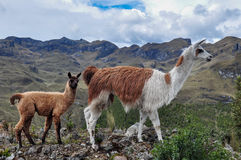 Lamas Family in El Cajas National Park, Ecuador Royalty Free Stock Image