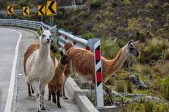 Lamas Family In El Cajas National Park, Ecuador Stock Images