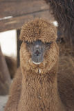 Lamas in the farm Royalty Free Stock Images