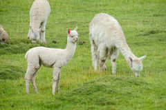 Lamas on green grass meadow royalty free stock image