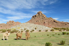 Lamas on green meadow in the Andes Stock Images