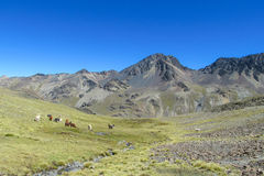 Lamas on green meadow in Andes Royalty Free Stock Images