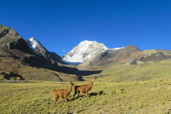 Lamas on green meadow in Andes Stock Image