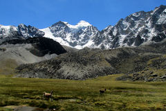 Lamas on green meadow in the Andes. Snow covered mountains, Gray rock summit in the Andes, Cordillera Real, Bolivia stock photos