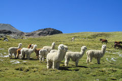 Lamas on green meadow. Furry lama and alpaca on green meadow at the altiplano mountains in Peru and Bolivia royalty free stock photo