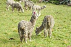 Lamas on green meadow Stock Image