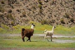 Lamas on green meadow Royalty Free Stock Photo