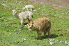 Lamas on green mountain meadow Stock Photo