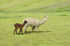 Lamas on green mountain meadow Royalty Free Stock Photography
