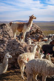 Lamas herd in Bolivia Royalty Free Stock Photography