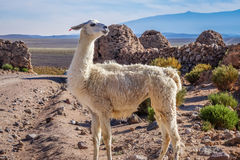Lamas herd in Bolivia Stock Photography