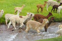 Lamas herd crossing river Royalty Free Stock Photos