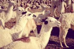 Lamas herd in Bolivia stock photo