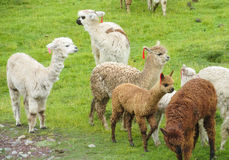 Lamas herd on grass Royalty Free Stock Image