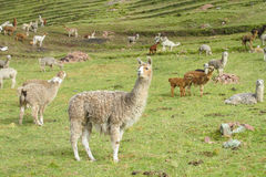 Lamas herd on grass Royalty Free Stock Photo