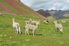 Lamas herd on green grass Royalty Free Stock Photography