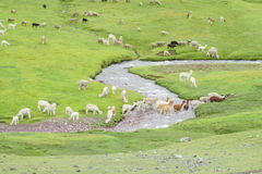 Lamas herd on green grass stock images