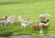 Lamas herd on green grass Royalty Free Stock Photo