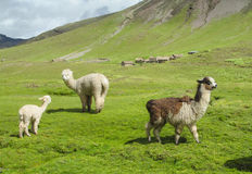 Lamas herd on green grass Royalty Free Stock Images