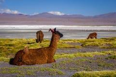 Lamas herd in Laguna colorada, sud Lipez Altiplano reserva, Boli Stock Photography