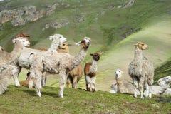 Lamas herd Royalty Free Stock Photo