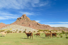 Lamas herd Royalty Free Stock Photography