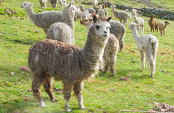 Lamas herd. On mountain green grass meadow royalty free stock photography