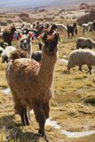 Lamas at the highlands. Lamas in the Andean highlands in Bolivia Stock Photos