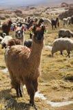 Lamas at the highlands Stock Photos